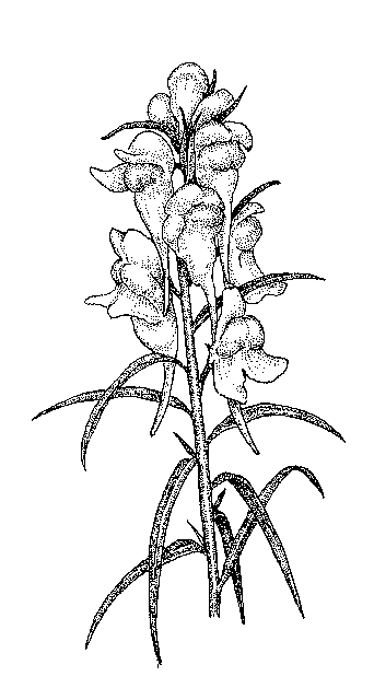 Snapdragon Drawing