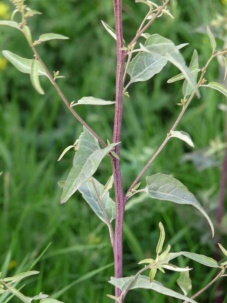 Atriplex hortensis (garden orache): Go Botany