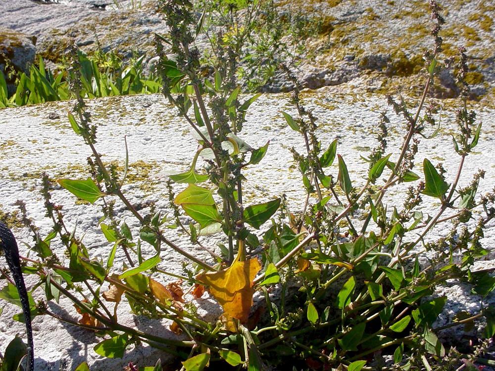 Atriplex prostrata (hastate-leaved orache): Go Botany