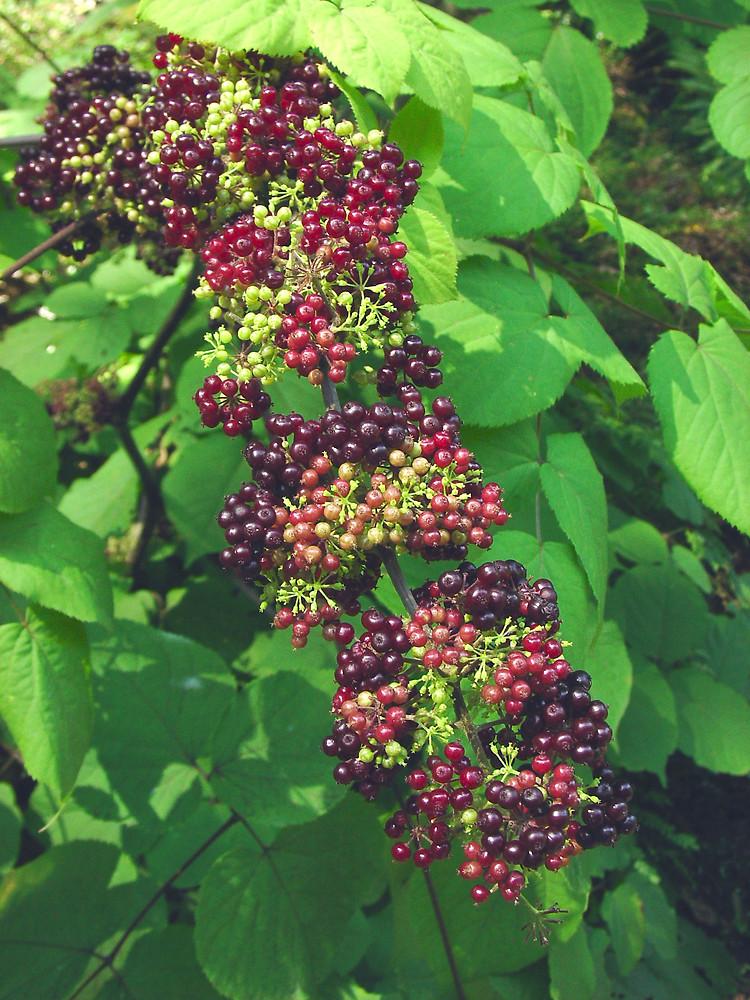 http://newfs.s3.amazonaws.com/taxon-images-1000s1000/Apiaceae/aralia-racemosa-fr-gmittelhauser-b.jpg