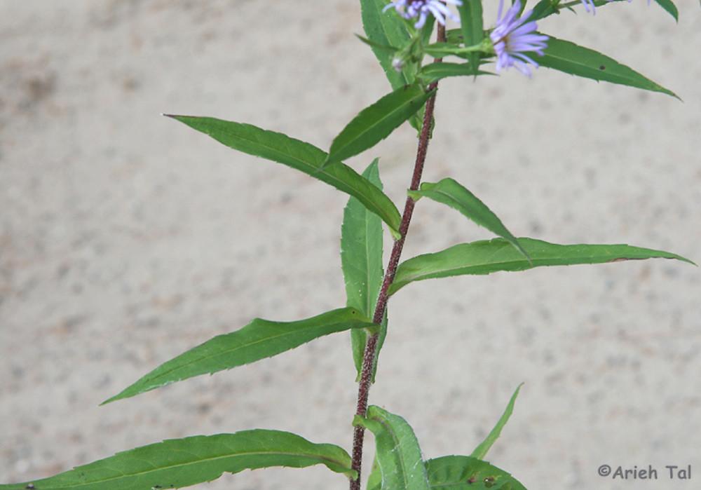 Asters Flowers Purple Purple Stemmed American Aster