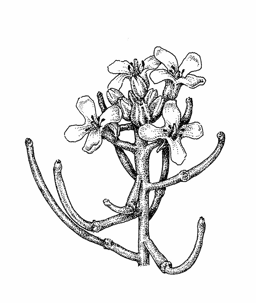 Mustard Flower Drawing Garlic-mustard