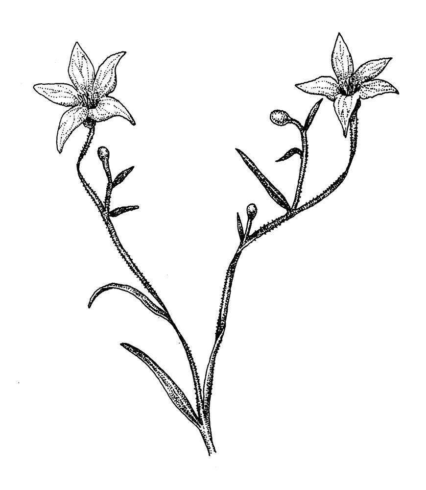 Bell Flowers Drawing Marsh Bellflower