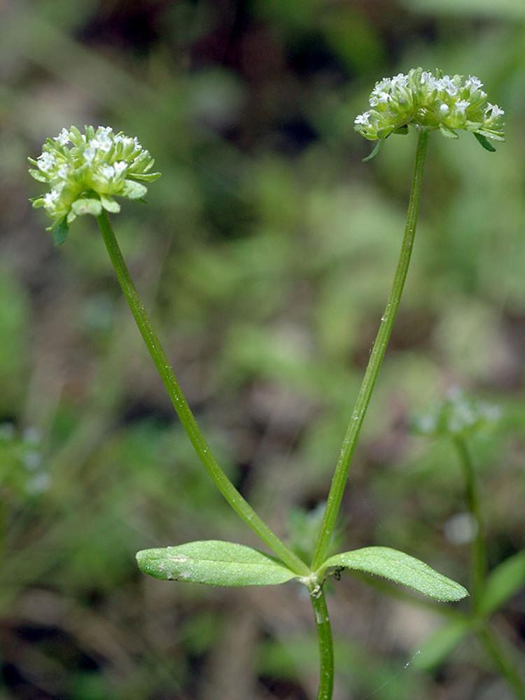 Valerianella locusta (European corn-salad): Go Botany