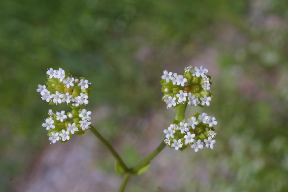 Valerianella radiata (beaked corn-salad): Go Botany