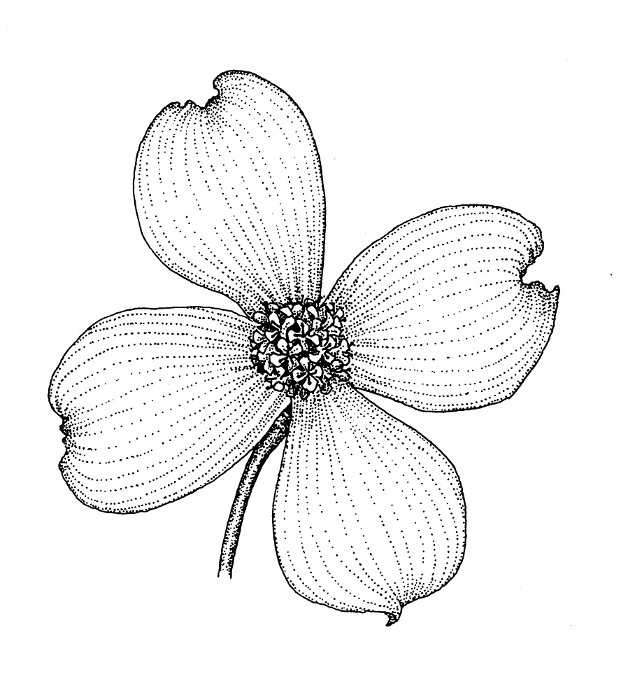 Dogwood Flower Line Drawing : Mountain of grace homeschooling our state scrapbook vriginia