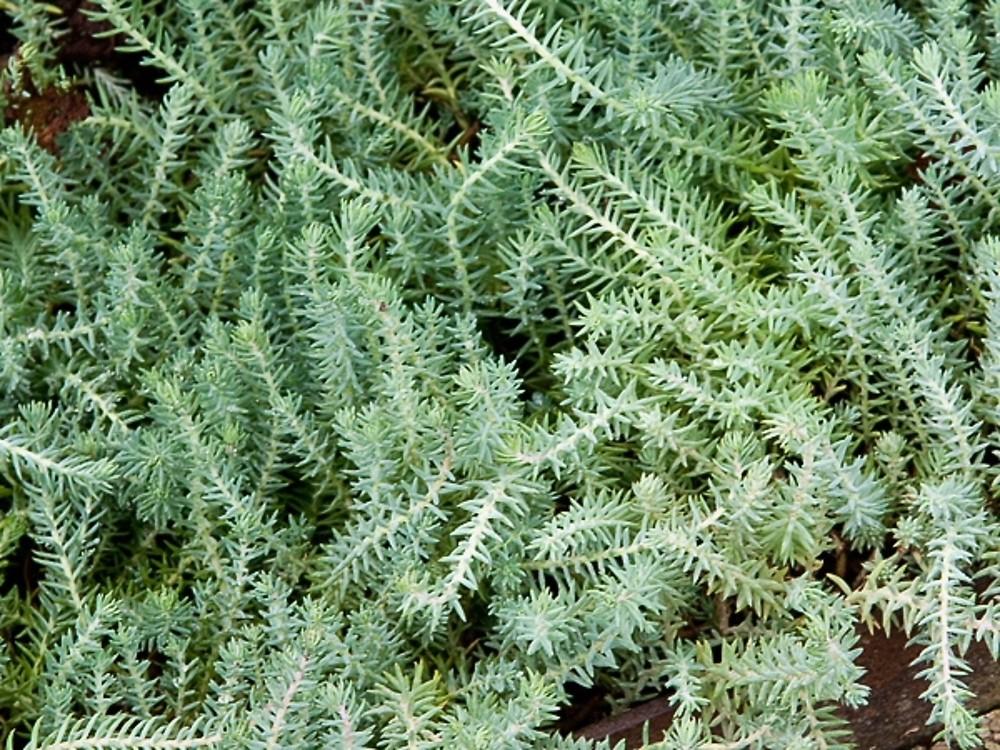 Sedum Stonecrop Varieties Sedum Perennials Stonecrop