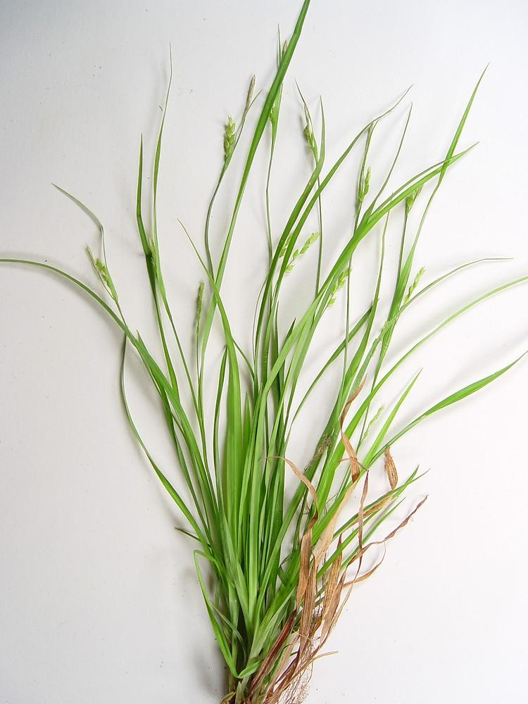 Grass like plants simple key go botany for Garden grass plants