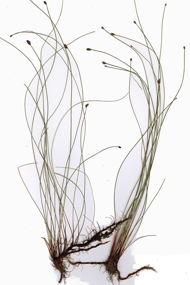 Eleocharis Elliptica Eleocharis elliptica Kunth