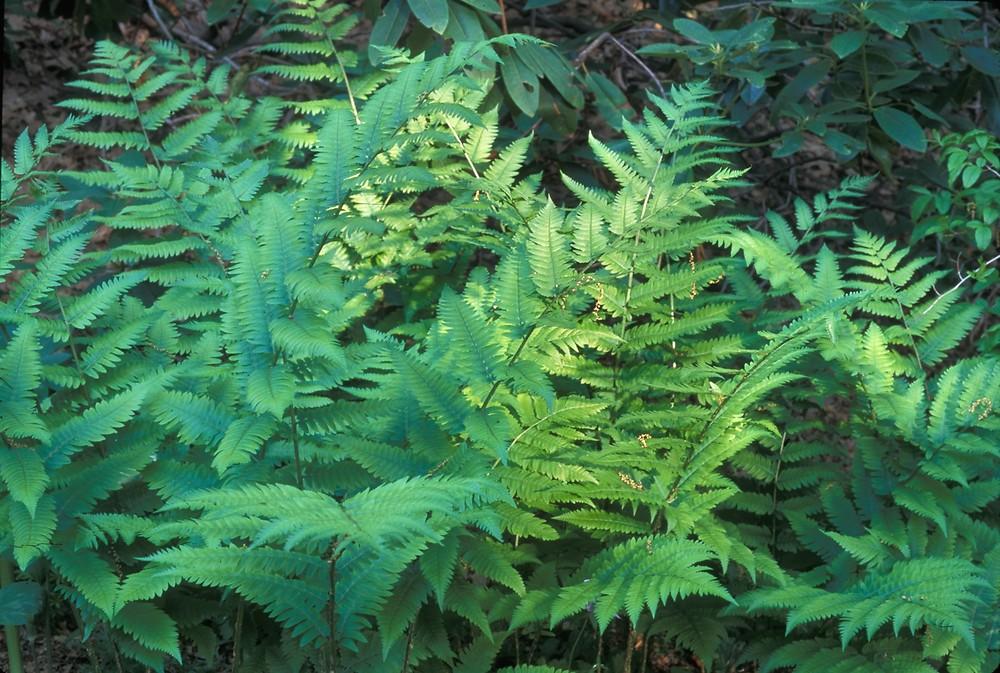 Goldie s wood fern  Labelled Dryopteris