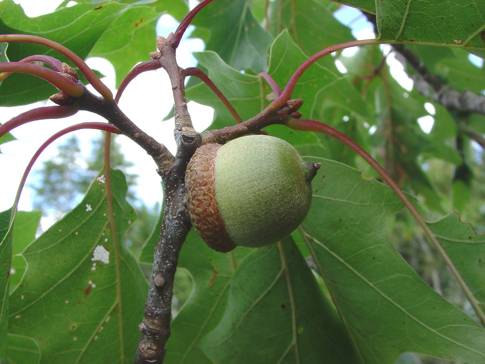 Quercus rubra  northern red oak   Go BotanyQuercus Rubra
