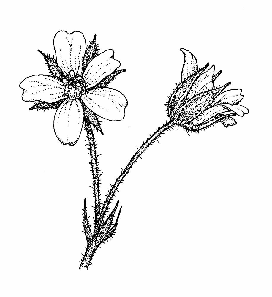 geranium flower drawing - photo #2
