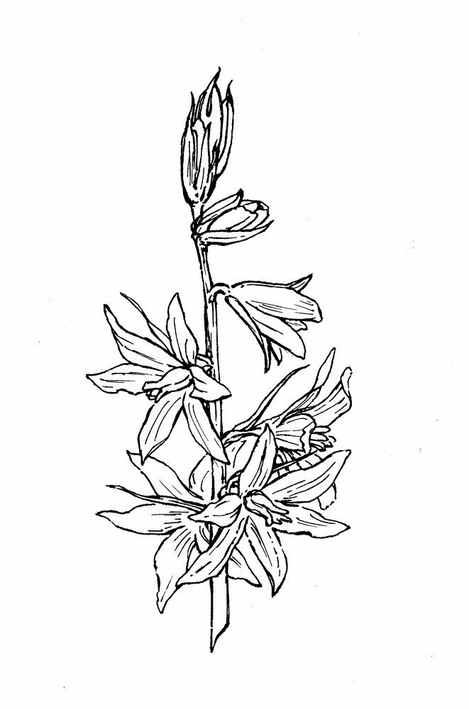 Star Flower Drawing Nodding Star-of-bethlehem