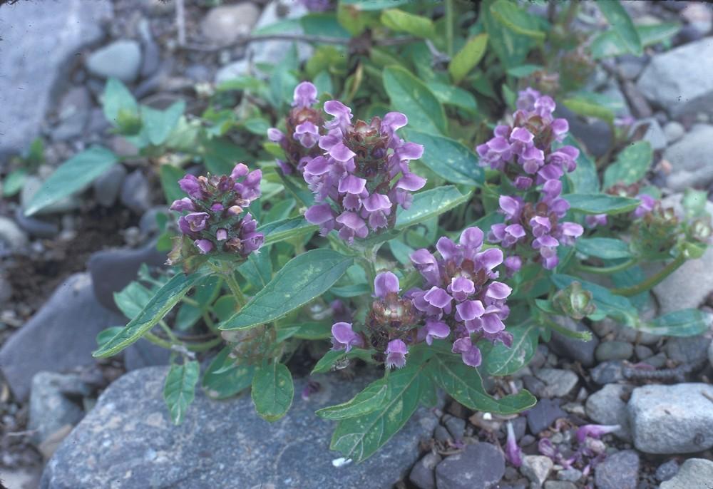 Prunella vulgaris l