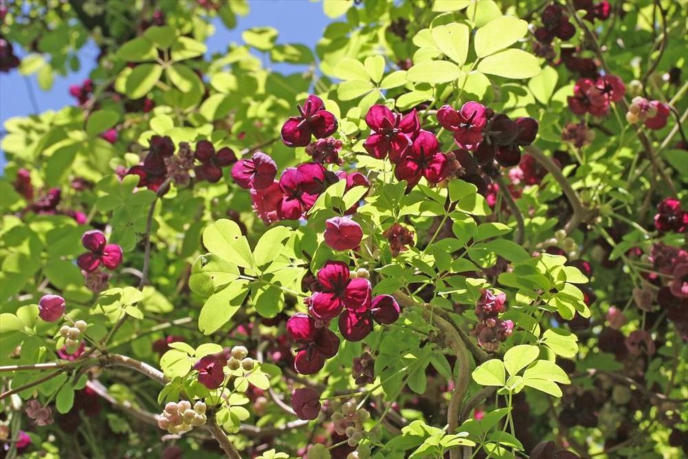 Akebia quinata (chocolate-vine): Go Botany
