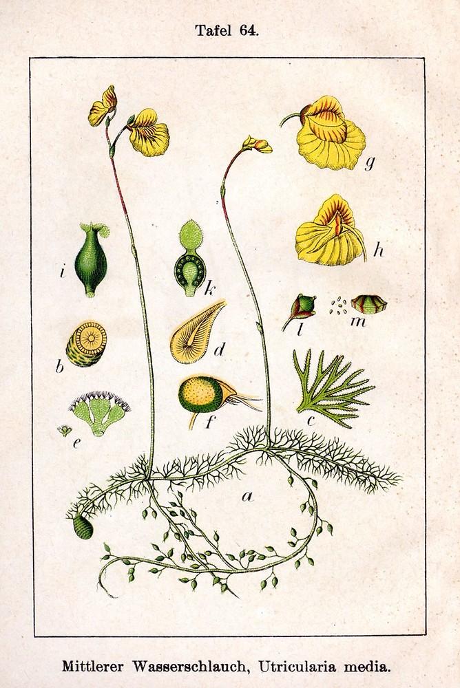 Utricularia intermedia HayneUtricularia Intermedia