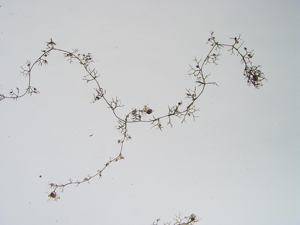 Utricularia Minor lesser bladderwort