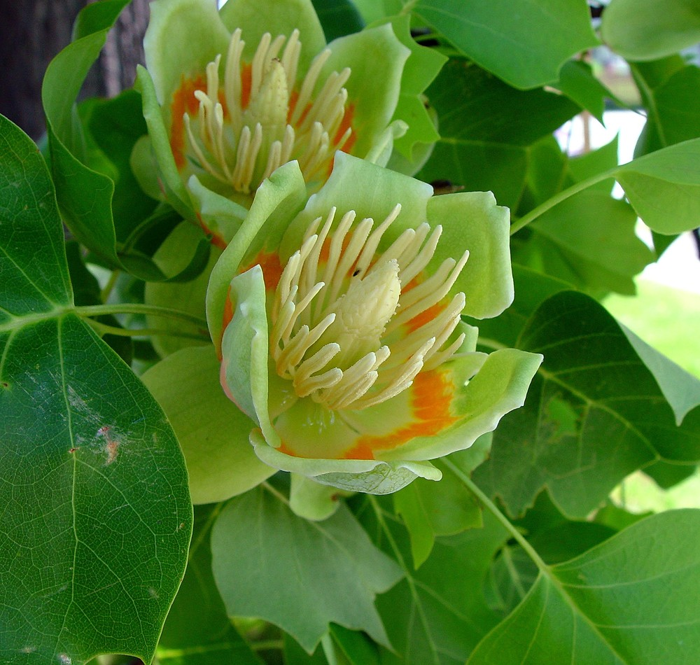 http://newfs.s3.amazonaws.com/taxon-images-1000s1000/Magnoliaceae/liriodendron-tulipifera-fl-ahaines-a.jpg