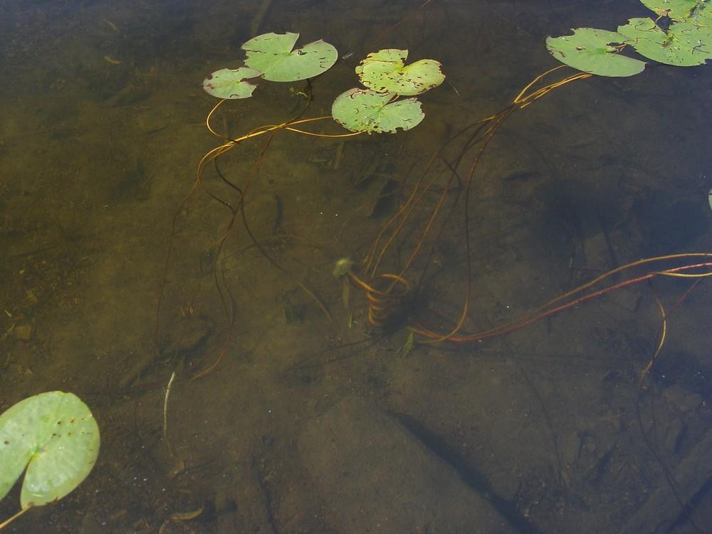 Nymphaea odorata (white water-lily): Go Botany