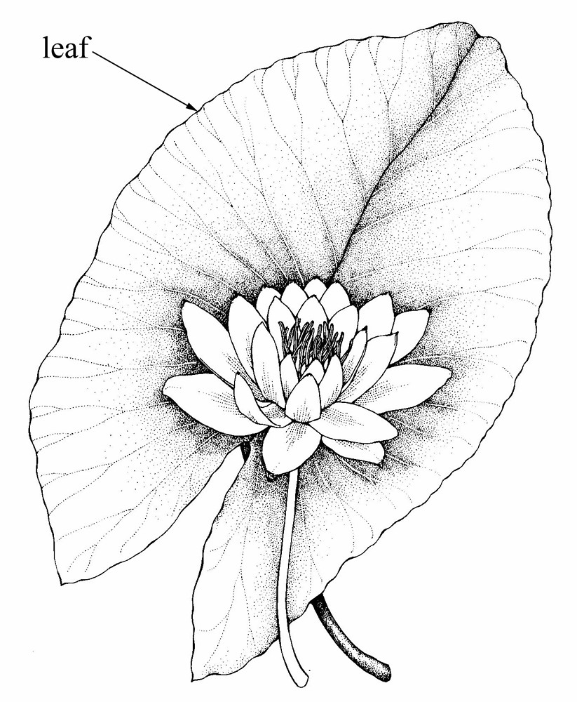 Lily Leaves Drawing Tuberous Water-lily