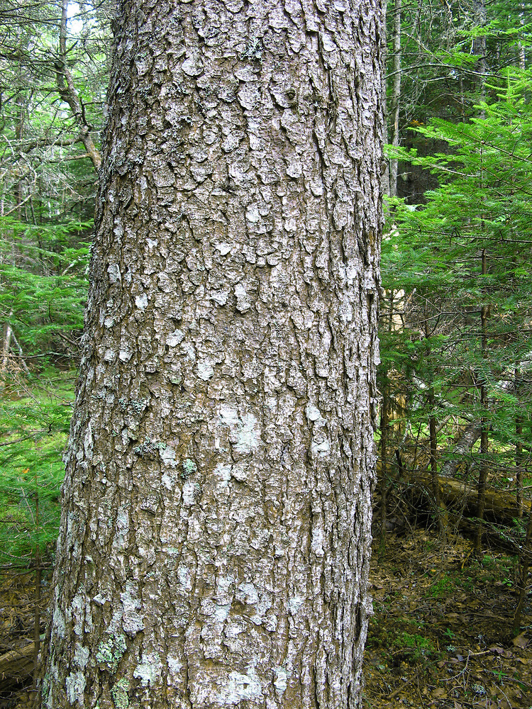 The gallery for --> Black Spruce Bark