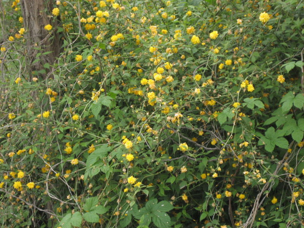 Kerria japonica japanese rose go botany for Kerria japonica