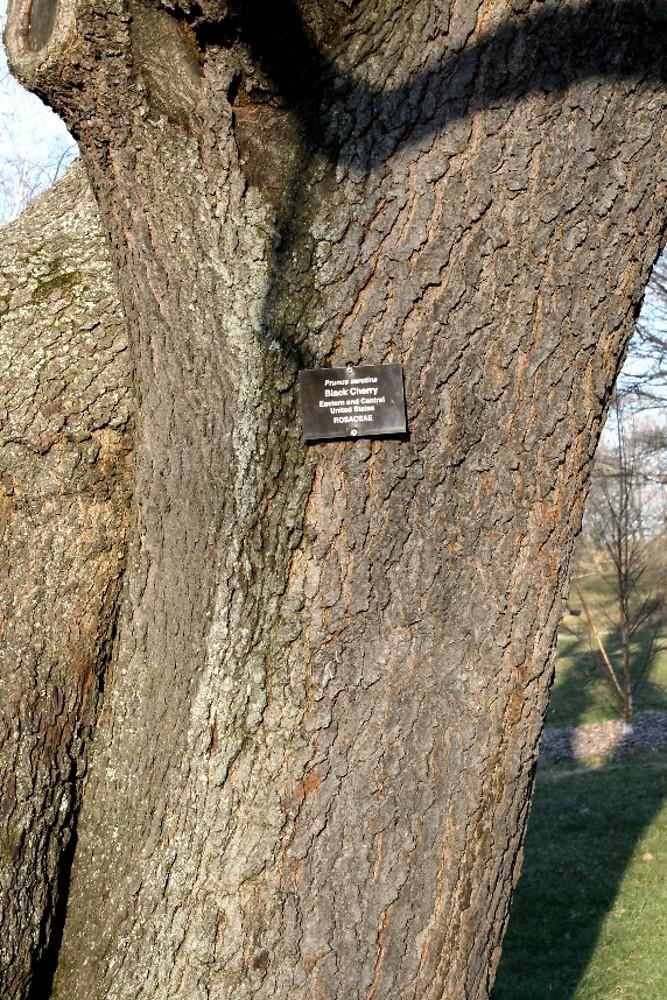 black cherry Prunus Serotina Bark
