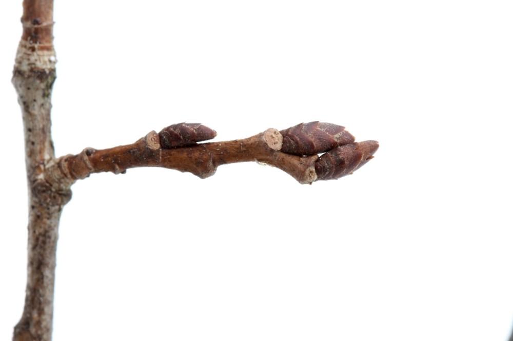 Ulmus Americana Twig American elm