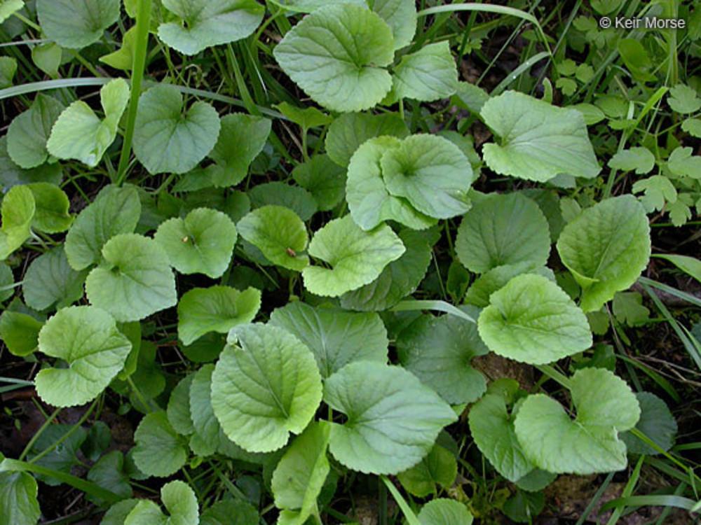 Viola odorata (English violet): Go Botany