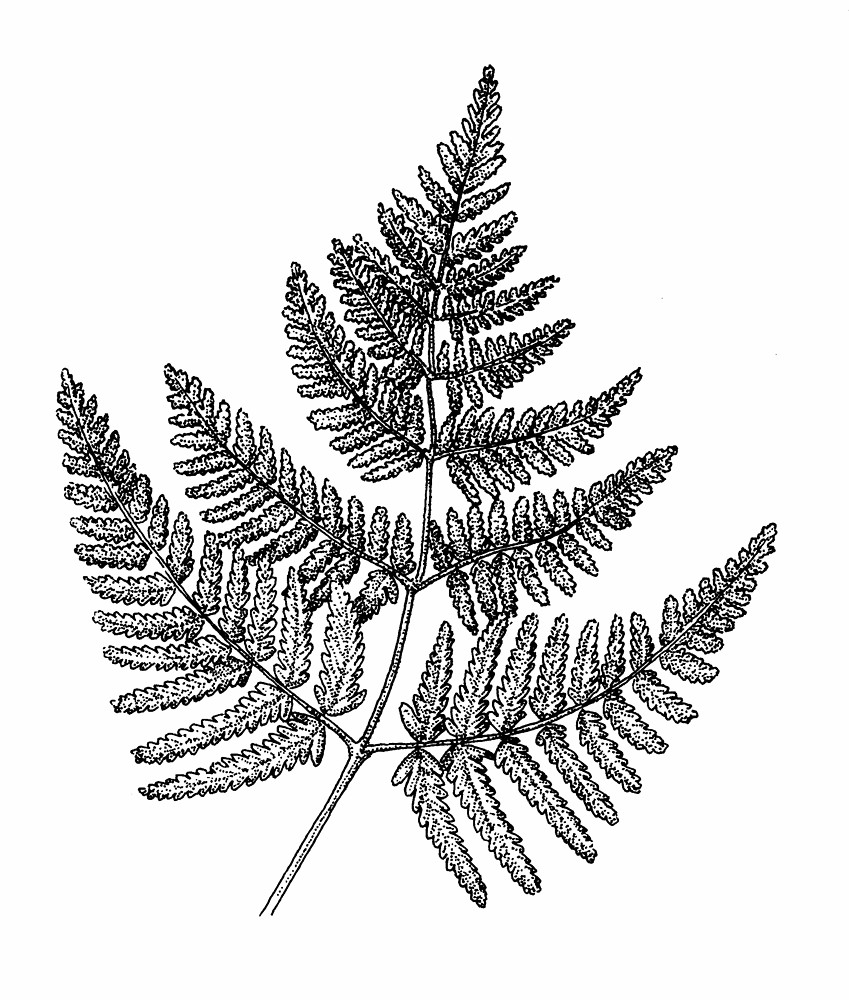 Fern Drawing Oak fern ...
