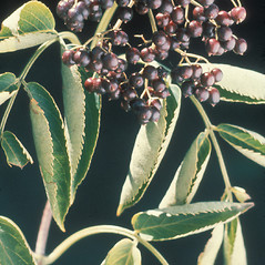 Fruits: Sambucus nigra. ~ By Albert Bussewitz. ~ Copyright © 2015 New England Wild Flower Society. ~ Image Request, images[at]newenglandwild.org