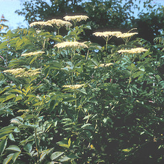 Plant form: Sambucus nigra. ~ By Frank Bramley. ~ Copyright © 2016 New England Wild Flower Society. ~ Image Request, images[at]newenglandwild.org