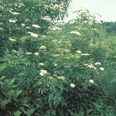 Plant form: Sambucus nigra. ~ By Pennie Logemann. ~ Copyright © 2016 New England Wild Flower Society. ~ Image Request, images[at]newenglandwild.org