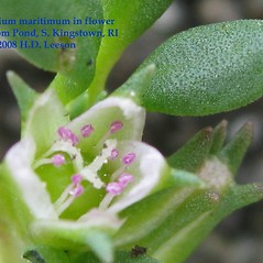 Flowers: Sesuvium maritimum. ~ By Hope Leeson. ~