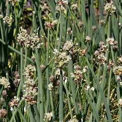 Inflorescences: Allium cepa. ~ By Paul S. Drobot. ~ Copyright © 2016 Paul S. Drobot. ~ www.plantstogrow.com, www.plantstockphotos.com ~ Robert W. Freckmann Herbarium, U. of Wisconsin-Stevens Point