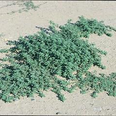 Plant form: Amaranthus blitoides. ~ By Mark Renz. ~ Copyright © 2015 Mark Renz. ~ mrenz[at]wisc.edu ~ Robert W. Freckmann Herbarium, U. of Wisconsin-Stevens Point