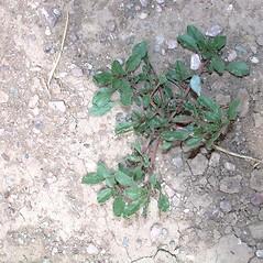 Leaves: Amaranthus blitoides. ~ By Mark Renz. ~ Copyright © 2016 Mark Renz. ~ mrenz[at]wisc.edu ~ Robert W. Freckmann Herbarium, U. of Wisconsin-Stevens Point