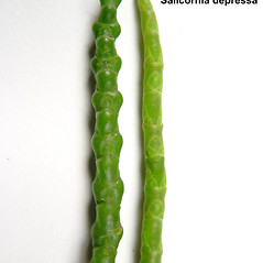 Comparison: Salicornia depressa. ~ By Donald Cameron. ~ Copyright © 2016 Donald Cameron. ~ No permission needed for non-commercial uses, with proper credit
