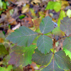Leaves: Rhus aromatica. ~ By Arthur Haines. ~ Copyright © 2016. ~ arthurhaines[at]wildblue.net