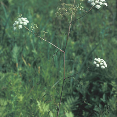Plant form: Sium suave. ~ By Frank Bramley. ~ Copyright © 2014 New England Wild Flower Society. ~ Image Request, images[at]newenglandwild.org