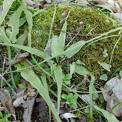 Plant form: Asplenium rhizophyllum. ~ By Arthur Haines. ~ Copyright © 2016. ~ arthurhaines[at]wildblue.net