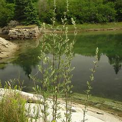 Plant form: Artemisia vulgaris. ~ By Glen Mittelhauser. ~ Copyright © 2015 Glen Mittelhauser. ~ www.mainenaturalhistory.org