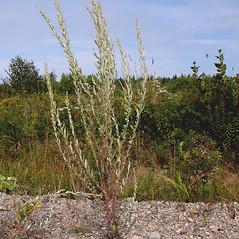 Plant form: Artemisia vulgaris.