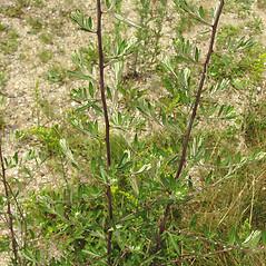 Leaves: Artemisia vulgaris. ~ By Glen Mittelhauser. ~ Copyright © 2016 Glen Mittelhauser. ~ www.mainenaturalhistory.org
