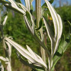 Leaves: Artemisia vulgaris. ~ By Marilee Lovit. ~ Copyright © 2016 Marilee Lovit. ~ lovitm[at]gmail.com