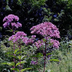 Plant form: Eutrochium fistulosum. ~ By Arthur Haines. ~ Copyright © 2016. ~ arthurhaines[at]wildblue.net