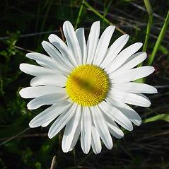 Flowers: Leucanthemum vulgare. ~ By Glen Mittelhauser. ~ Copyright © 2015 Glen Mittelhauser. ~ www.mainenaturalhistory.org