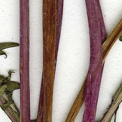 Stems: Taraxacum laevigatum. ~ By CONN Herbarium. ~ Copyright © 2016 CONN Herbarium. ~ Requests for image use not currently accepted by copyright holder ~ U. of Connecticut Herbarium - bgbaseserver.eeb.uconn.edu/