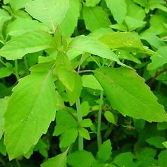 Leaves: Impatiens capensis. ~ By Glen Mittelhauser. ~ Copyright © 2015 Glen Mittelhauser. ~ www.mainenaturalhistory.org