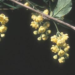Flowers: Berberis vulgaris. ~ By Frank Bramley. ~ Copyright © 2016 New England Wild Flower Society. ~ Image Request, images[at]newenglandwild.org